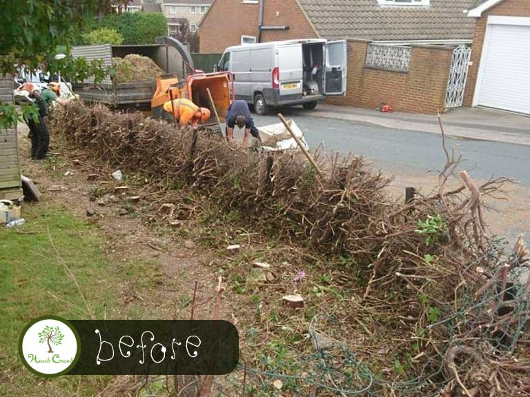 Hedge Removal Before Picture